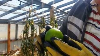 Download First Hard Freeze in the new greenhouse. Tomatoes got hit Video