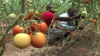 Download Horticulture in Kenya with Hortipro Ltd Greenhouses Video