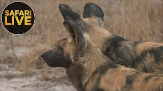 Download safariLIVE - Sunset Safari - September 6, 2018 Video