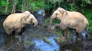 Download ″Happy Face″ the intelligent elephant destroys an electric fence Video