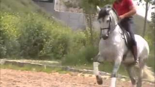Download PLAN - 2005 Grey Andalusian Stallion for sale Video