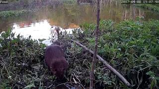 Download Beaver snared on video. Other beavers learn from his mistake. Video