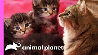 Download Tiniest Kitten Boris Won't Let His Size Hold Him Back! | Too Cute! Video