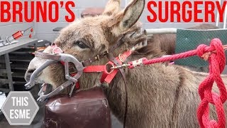 Download BRUNO'S SURGERY | Donkey Teeth Extraction and Vet checkup | This Esme Video