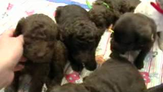 Download F1B labradoodle puppies for sale second generation Video