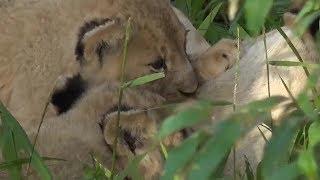 Download SafariLive Jan 29 - Four happy Sausage lion cubs! Video