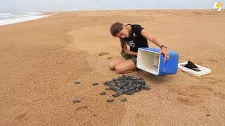 Download These People Are Saving Endangered Baby Turtles In Brazil Video
