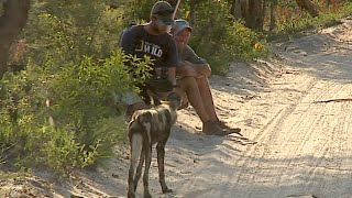 Download James Hendry meets wild dogs on foot Video