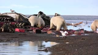 Download After the Kaktovik Whalers Harvest, Polar Bears Feast Video