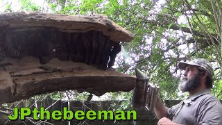 Download 40 Year Old Bee Hive In Ancient Catalpa Tree! Video