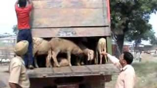 Download OIPA & PFA Haryana cought two trucks carrying sheeps Video