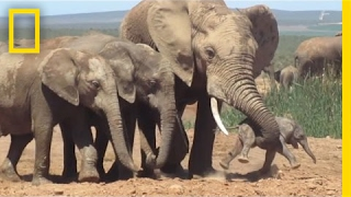 Download Shocking Footage of Baby Elephant Tossed Around by Adult, Explained | National Geographic Video