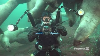 Download Scuba diving with sea lions at Vivian Island & Hornby Island, British Columbia! Video