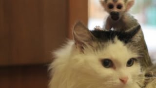 Download Raw: Russian Cat Adopts Baby Monkey As Its Own Video