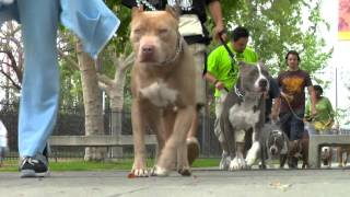 Download Become a better pit bull owner in less than 4 minutes Video