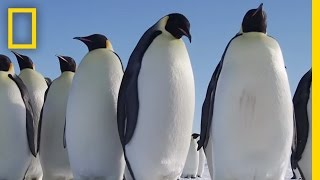 Download All About the Emperor Penguin | Continent 7: Antarctica Video
