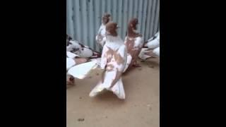Download Sarı ve Kırmızı Alaca Ak Kuyruk Beyazlar ( Sarı ve Kırmızı Alaca Kırkkuyruk ) Video