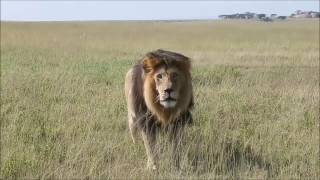 Download Angry Big Male lion Charge on Tourist : Big Lion attack Hyena Neck Video