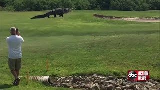 Download Goliath gator spotted at Palmetto golf course Video