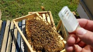 Download How the bees act when they reject the queen new beekeepers don't miss this Video