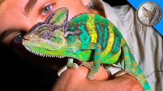 Download Wild Chameleons in Florida?! Video