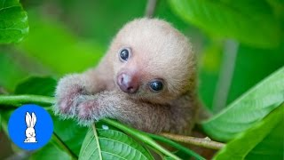 Download Baby Sloths Being Sloths - FUNNIEST Compilation Video