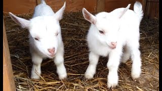 Download Cute Baby Goats - A Cutest And Funny Goats Baby Videos Compilation   NEW HD Video