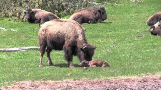 Download The Last Baby Bison (Buffalo) Birth in Yellowstone in 2011 Video