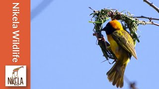 Download Watch a Weaver Bird build a nest in a single day Video