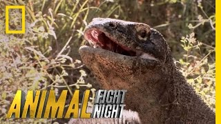 Download Komodo Knockout | Animal Fight Night Video
