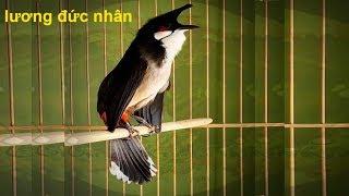 Download Luyện giọng cho chim chào mào hót sáng TẬP 11 - chào mào hót tít quật Video