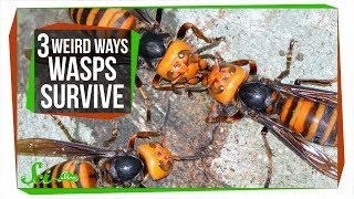 Download 3 Wasps That Will Do Anything to Survive Video