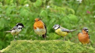 Download Video Per Gatti : Cinguettio Degli Uccelli Video