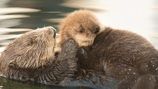 Download Sea Otter Orphan Gets Adopted Video