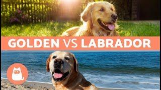 Download Golden Vs. Labrador – Differences Between Labrador Retriever and Golden Retriever Video