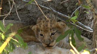 Download SafariLive July 12. Tiny lion cub! Video