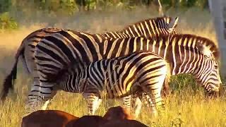 Download Djuma: Impalas and Zebras - 17:15 - 03/23/19 Video