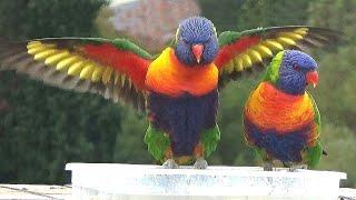 Download Bird TV: 1-hr video for your pet birds, cats, & humans Video