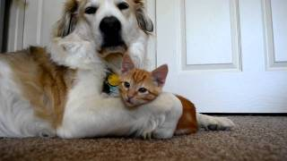 Download video 36: Cute ADORABLE kitten tries to steal dog's tongue (as seen on Ellen!!) Video