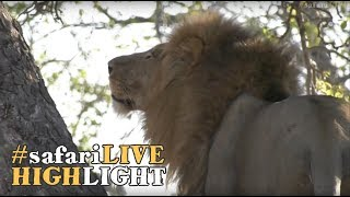Download A male lion climbs up and down a tree to snack on some leftovers Video