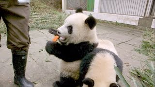 Download Panda Twins are Hungry and Rambunctious Video