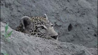 Download SafariLive Jan 02 - Leopards Tingana and Thandi and a Hyena! Video