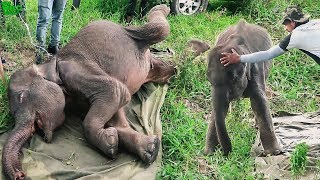 Download Saving a young elephant from one of the smallest predators Video