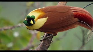 Download Tanah Papua: A Paradise for Birds Video