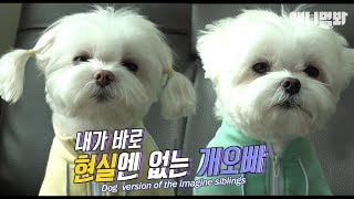 Download 강아지판 상상남매ㅣYou might be envious of the maltese dog's brother after watching this? Video