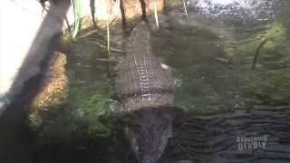 Download Dangerous and Deadly: Saltwater Crocodile Video