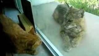 Download Indoor cat and bobcat 4 Video