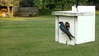 Download Tree Swallow House Video