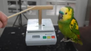 Download Touch Training | Amazon Parrot Video