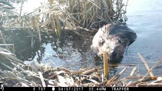 Download Basic Beaver Trapping ″Footholds with actual catch on film as it happens″ Video